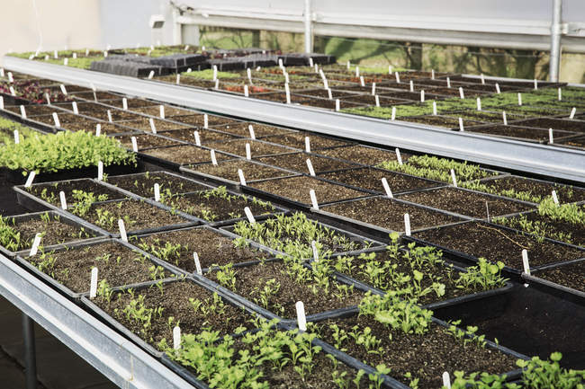Small plants in rows — Stock Photo