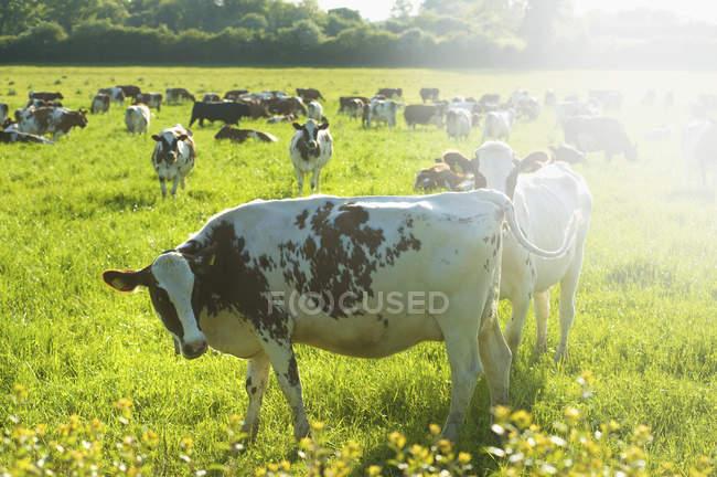 Kuhherde auf einem Feld. — Stockfoto