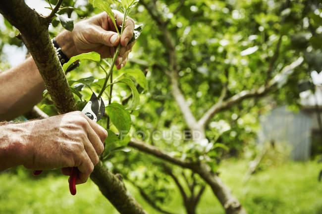 Gardener pruning fruit trees — Stock Photo