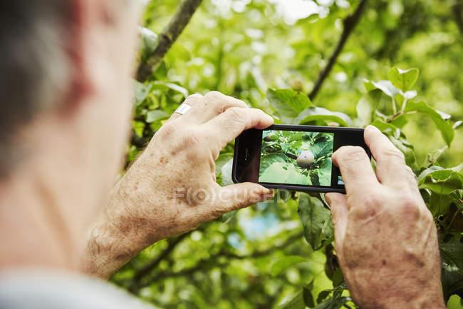 Jardineiro tirando foto de uma maçã na árvore — Fotografia de Stock