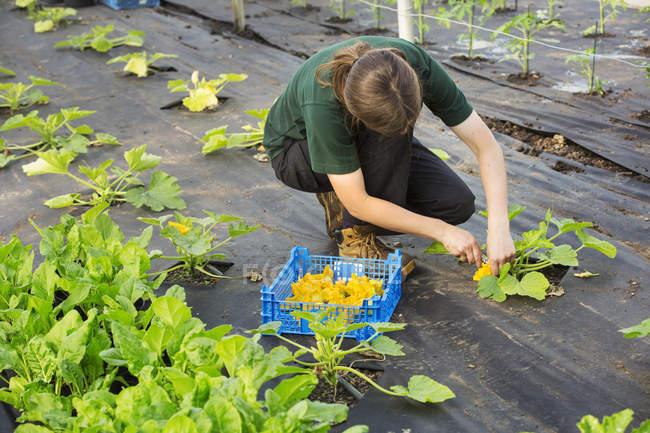 Женщина сбора желтые цукини цветы — стоковое фото