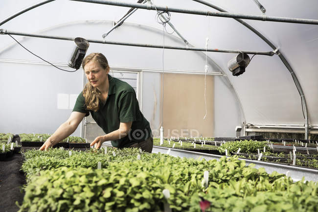 Gardener working in a polytunnel sorting seedlings — Stock Photo