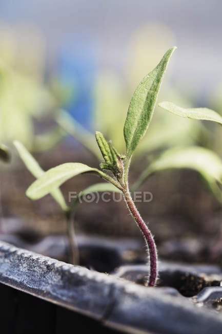 Seedling growing in pot. — Stock Photo