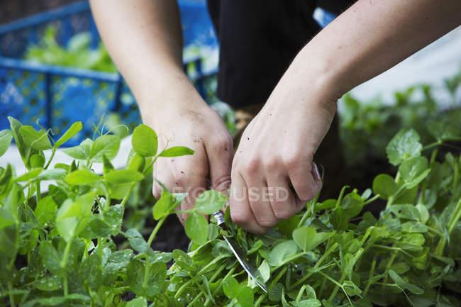 Женщина, сбор листьев зеленого салата — стоковое фото