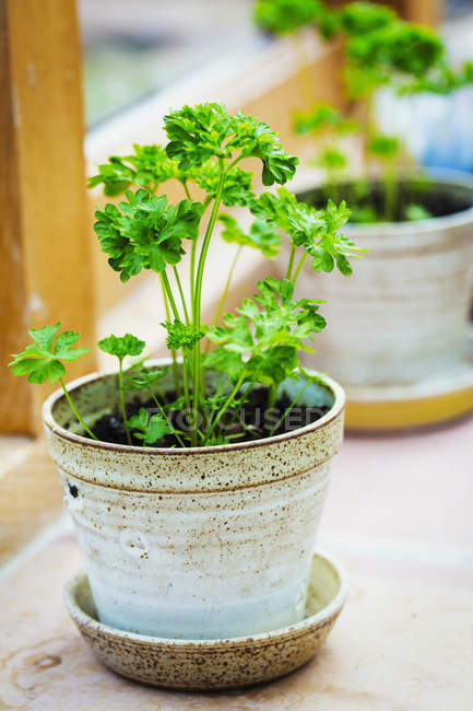 Parsley herbs growing. — Stock Photo