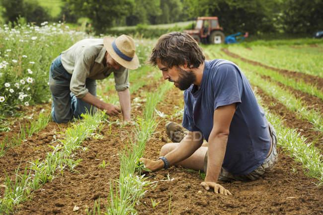 Hommes qui tendent des rangées de petites plantes — Photo de stock