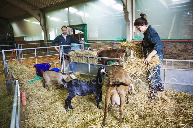 Homme et femme dans une étable avec les chèvres — Photo de stock