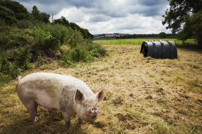 Свиньи в диапазоне — стоковое фото