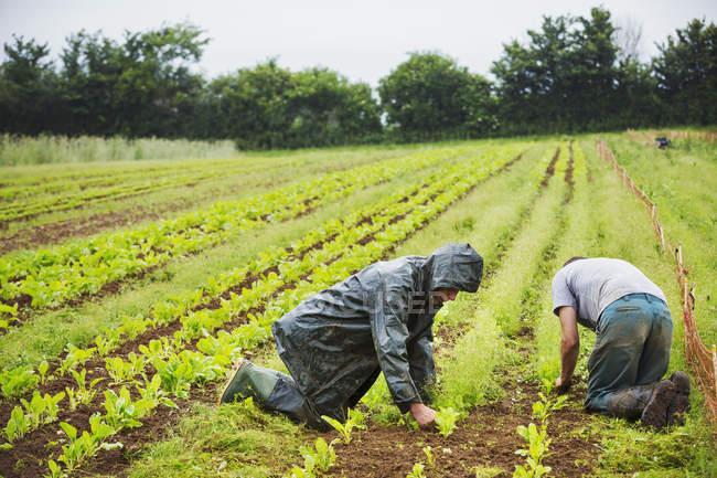Men kneeling in field tending plants — Stock Photo