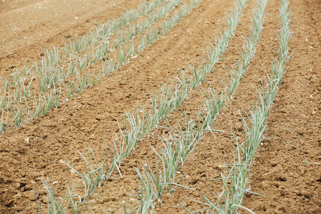 Onion plants in the soil — Stock Photo