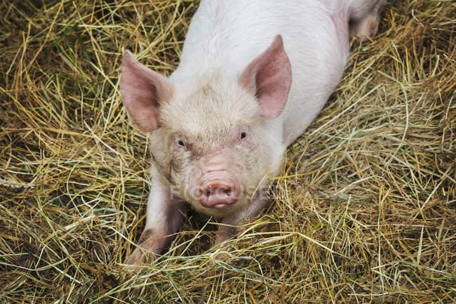 Свиньи, лежа на Сене на ферме — стоковое фото