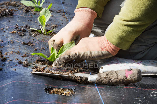 Person planting small plant plugs — Stock Photo