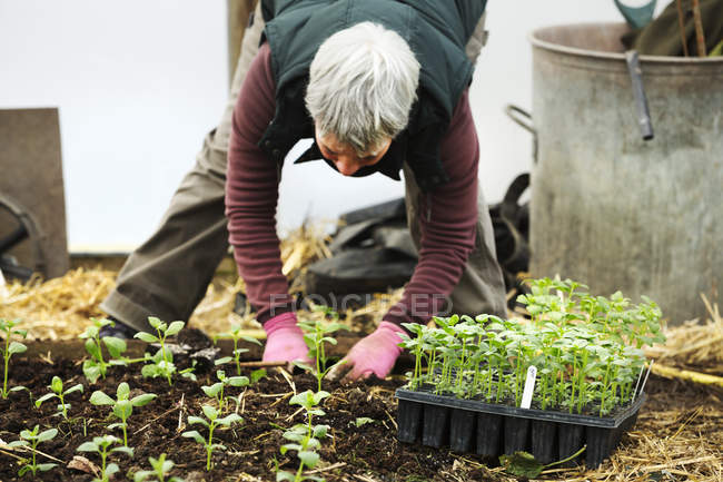 Woman bending planting seedling — Stock Photo