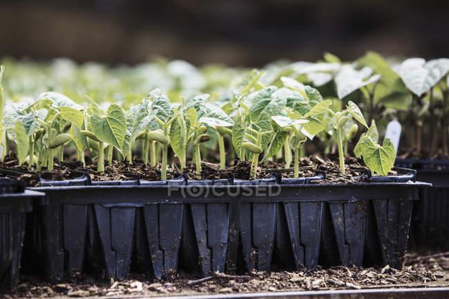 Runner bean plants in pots — Stock Photo