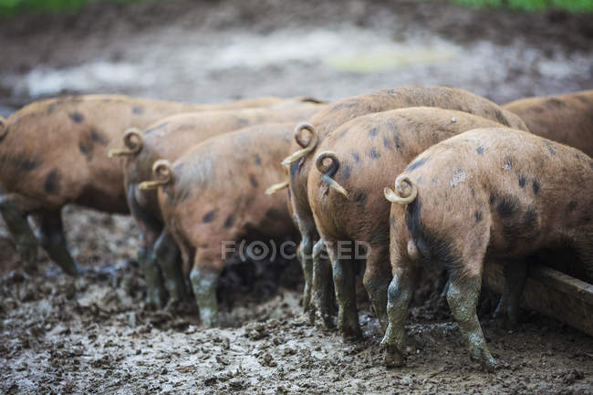 Pigs in a muddy field — Stock Photo