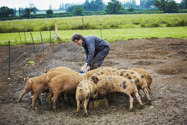 Woman filling feeding trough for pigs — Stock Photo