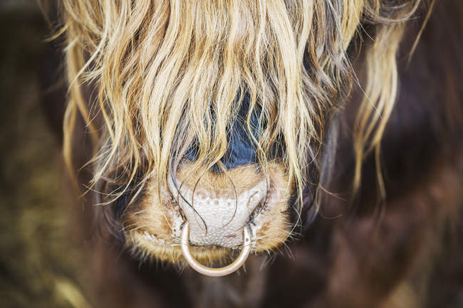 Long haired bull with a nose ring. — Stock Photo