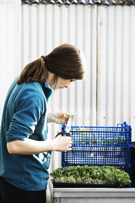 Woman cutting and packing salad leaves — Stock Photo