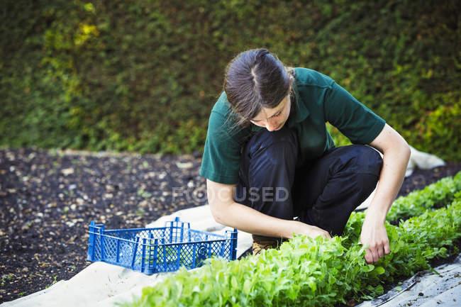Женщина резки салат листья — стоковое фото