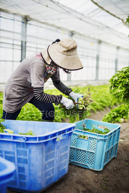 Woman working in a greenhouse — Stock Photo