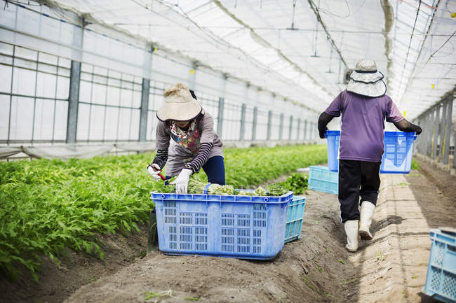 Women working in a greenhouse — Stock Photo