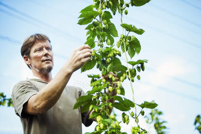 Man picking hops — Stock Photo