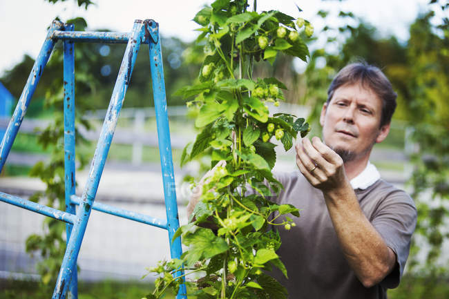 Man picking hops — Stock Photo