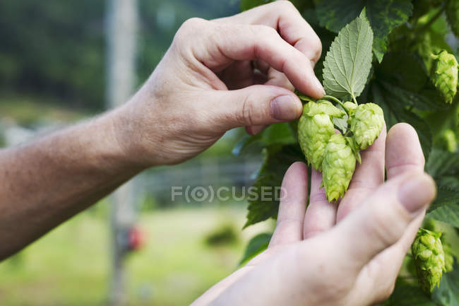 Man picking hop flowers — Stock Photo