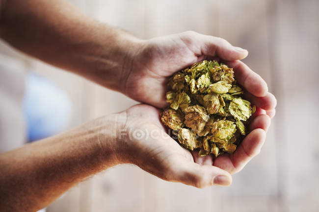 Human hands holding dried hops. — Stock Photo