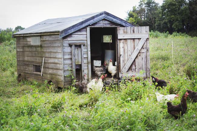 Em pé ao redor de um galinheiro de galinhas — Fotografia de Stock