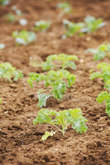 Pequenas plantas em fileiras — Fotografia de Stock