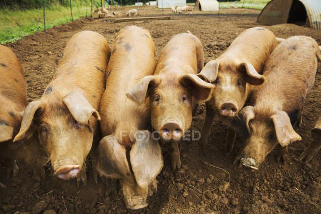 Grupo de suínos em caneta — Fotografia de Stock