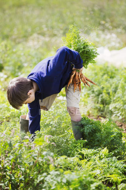 Boy picking carrots — Stock Photo