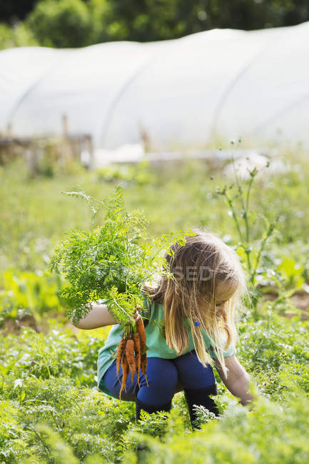 Girl picking carrots — Stock Photo