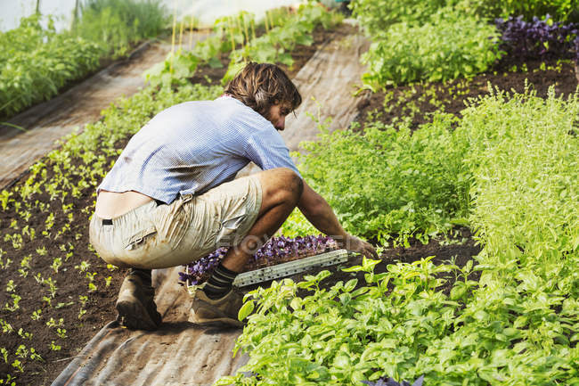 Man squatting and planting seedlings. — Stock Photo