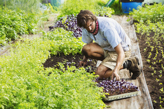 Man working in an organic garden — Stock Photo