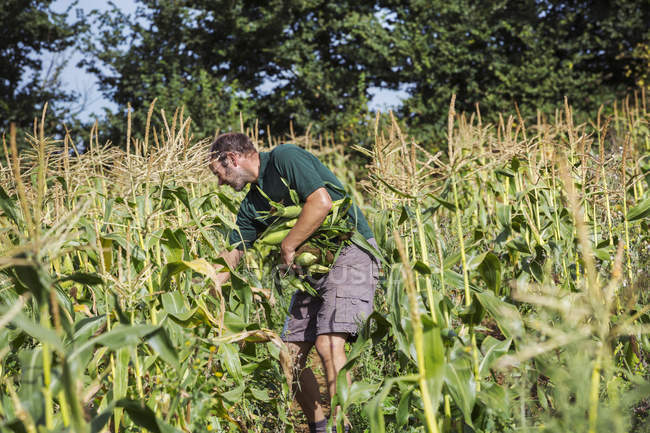 Сбор урожая — стоковое фото