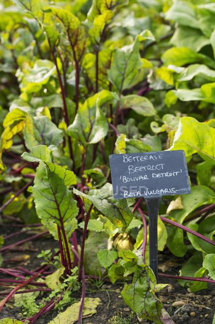 Pflanzen wachsen in Gemüse Garten — Stockfoto