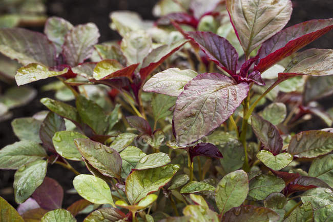 Pequenas plantas com folhas vermelhas e verdes — Fotografia de Stock