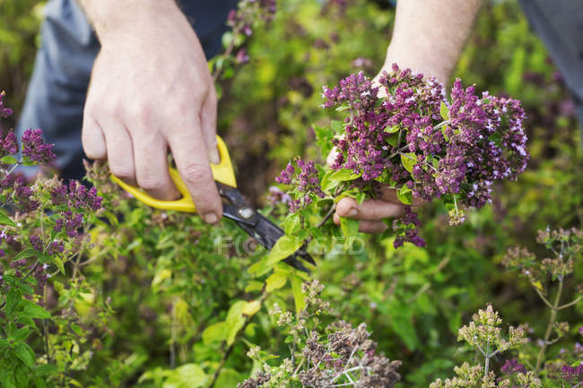 Gardener with scissors harvesting fresh herbs — Stock Photo