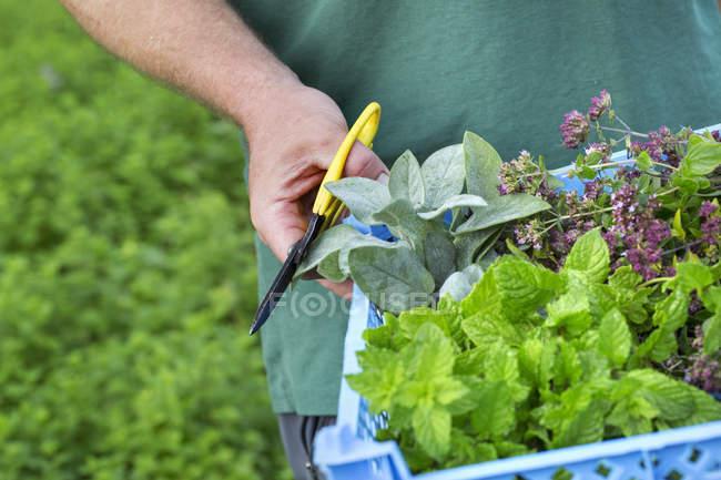 Gardener with scissors harvesting fresh herbs — Stock Photo