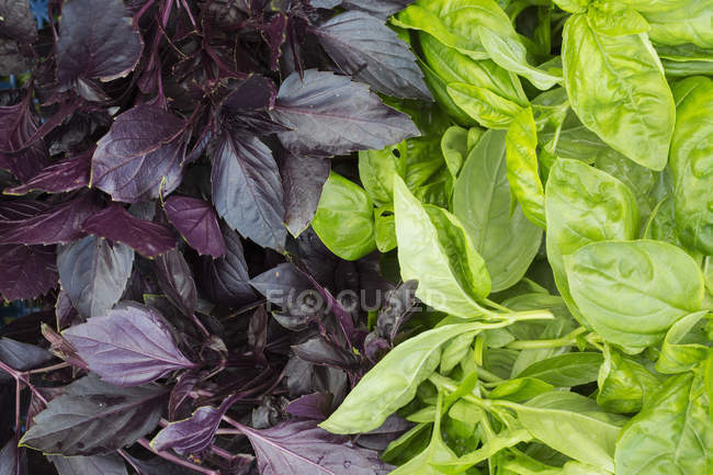 Purple and green leafed basil plants. — Stock Photo