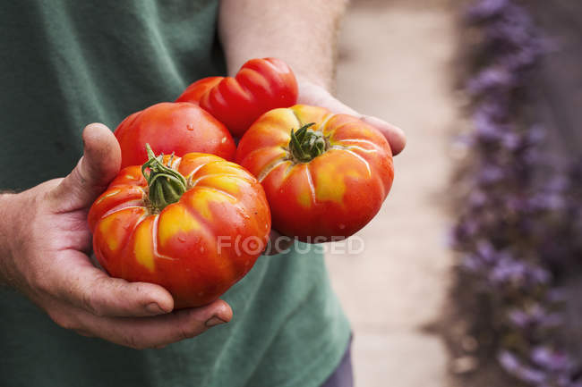 Person holding tomatoes. — Stock Photo