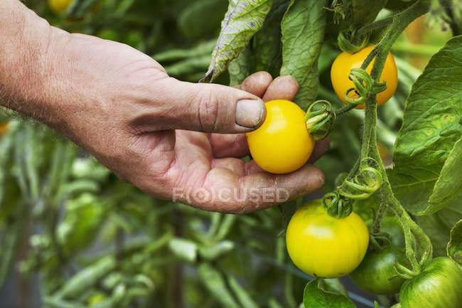 Gardener picking yellow ripe tomatoes. — Stock Photo