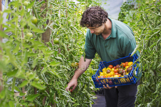 Male gardener picking tomatoes. — Stock Photo