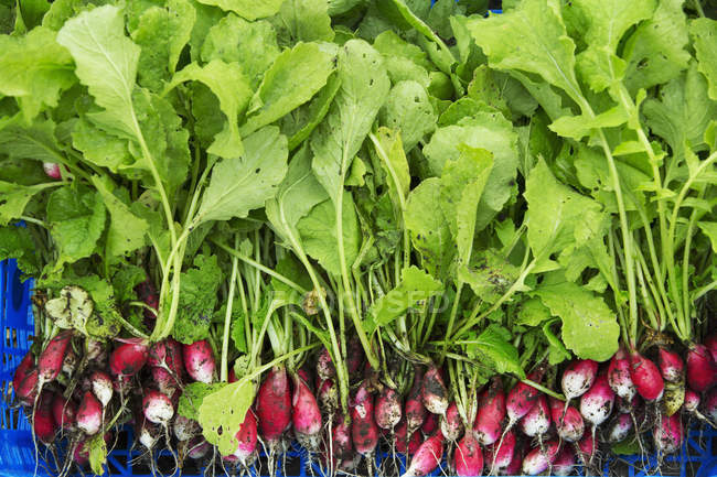 Mazzo di ravanelli rossi — Foto stock