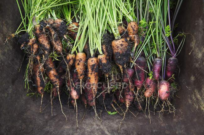 Bouquet de carottes fraîchement cueillies — Photo de stock