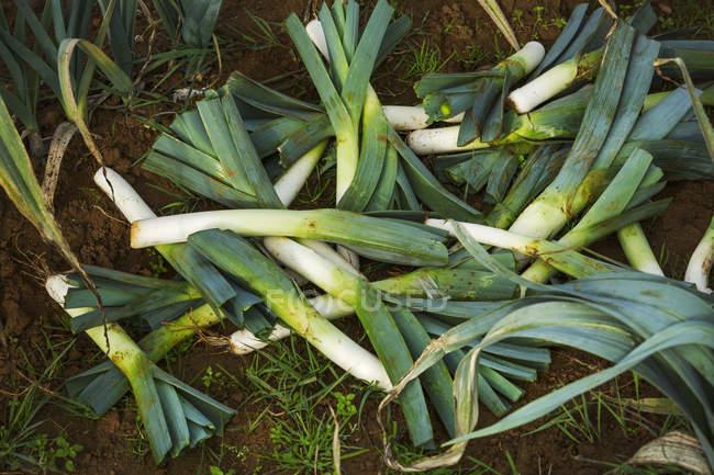 Puerros recién cosechados - foto de stock