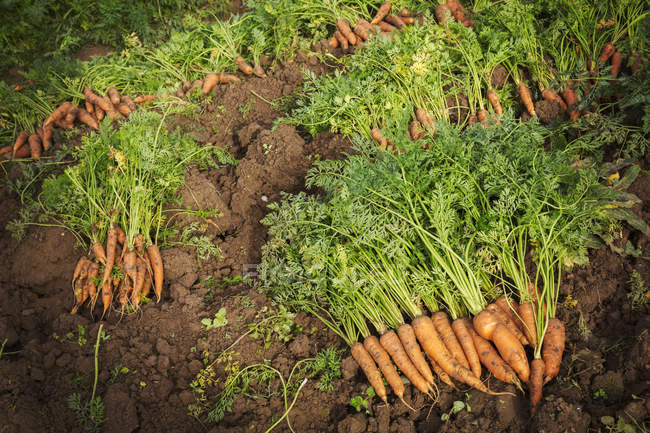 Rows of freshly pulled up carrots — Stock Photo