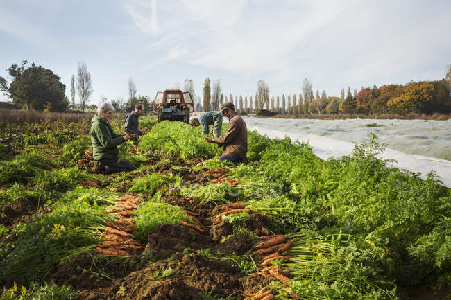 People harvesting autumn vegetables — Stock Photo